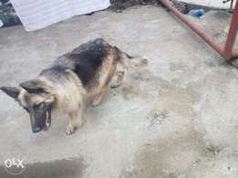 Longcoat 3yrs female German Shepherd