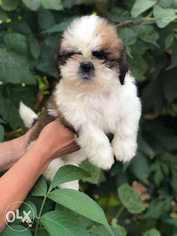 Shihtzu puppies, top quality.. Imported with all dcs