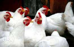 Healthy One month Broilers for sale at San Farm.
