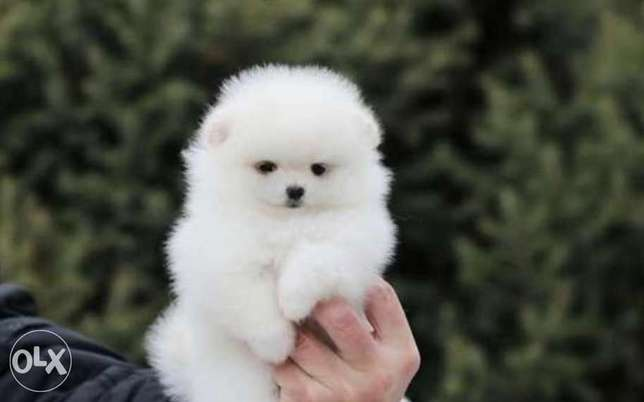Imported snow white mini pomeranian puppies from best kennels in Europ
