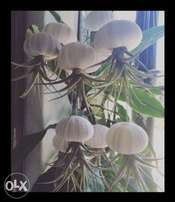 Jellyfish Airplants