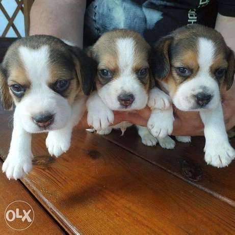 Beagle puppies for sale. boys And girl.