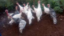 Mature turkey for sell in pairs