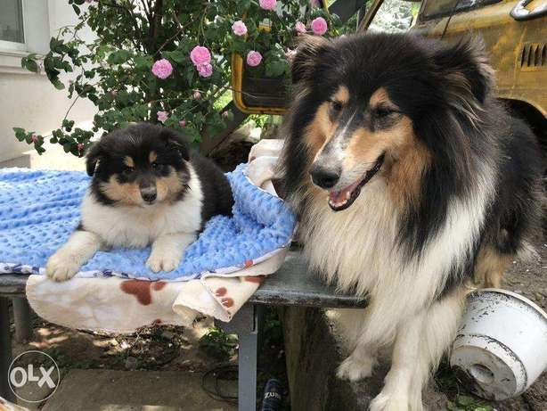 """The best Quality Imported Border Collie """"Premium Quality"""""""