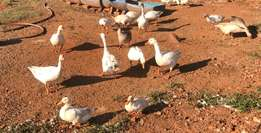 Geese for sale near Swartruggens, NW Province
