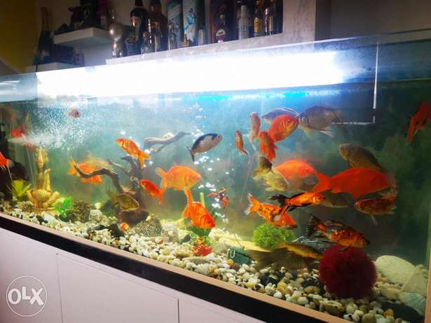 Shayle wahde. About 35 special rare shapes color and sizes gold fish