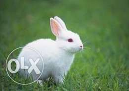 RABBIT for sale