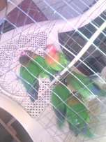 Parrots-love birds type