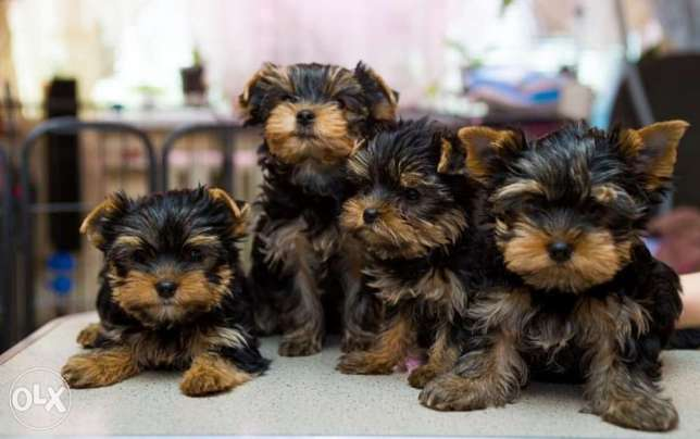 Mini Yorkshire puppies with all documents, imported from Ukraine