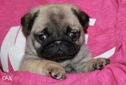 Reserve ur imported mini pug puppy, top quality with all documents