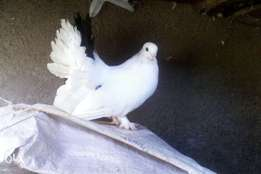 Pure White Fantail Doves.