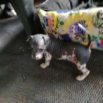 Chinese crested naked dog puppy