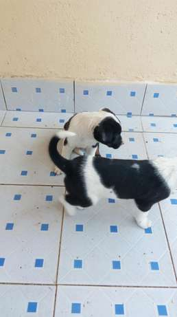 One month old puppies. Rugutu - image 3