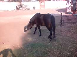 Pony for sale contact for more information