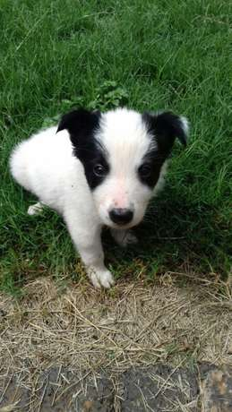 Pure Bred Border Collie Male Puppies Vryburg - image 4
