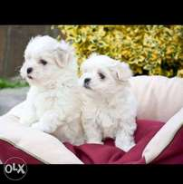 Best of the best imported mini maltese puppies with all documents