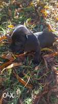 Black Male and Female Dachshund Puppies