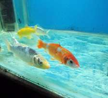 300Koi Freshwater Fish - Latest Batch - Selling now ..