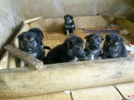 Slant German Shepherd puppies available ( massive puppy)