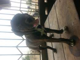 Female Boerboel puppy ready for new home
