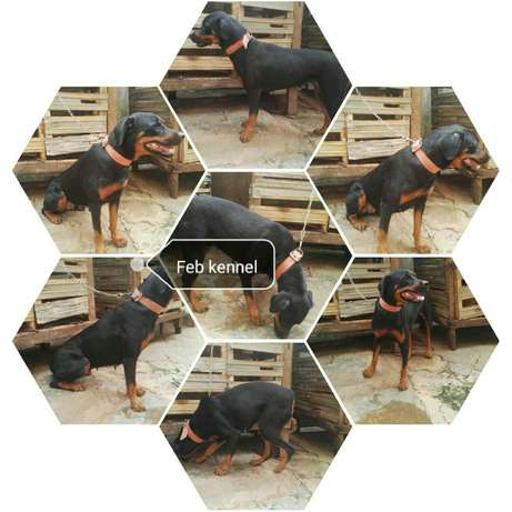 Female adults Rottweiler  - image 1