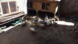 Adult geese available for sale