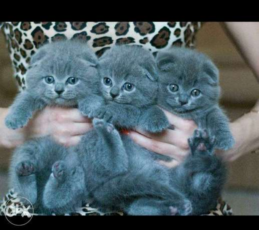 Scottish fold baby cats