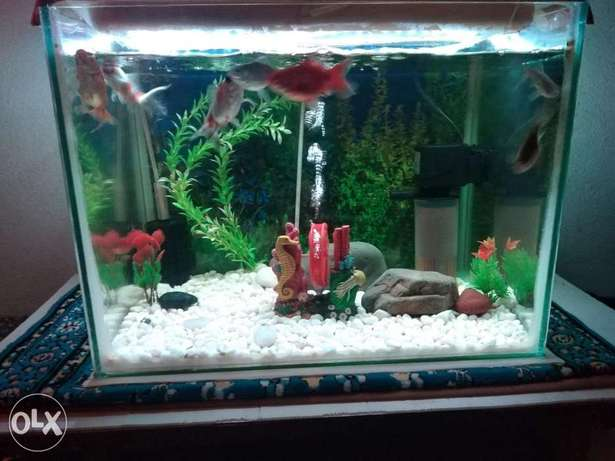 Gold fishes and tank with accessories ينبع -  2