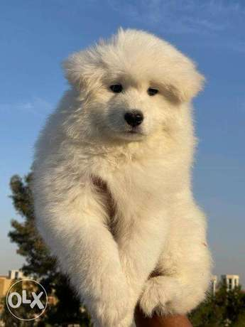 """The most Fabulous Fluffy Samoyed puppies """"Imported Parents"""""""