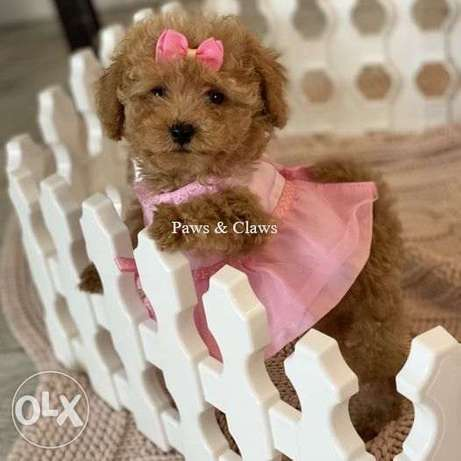 Poodle Sweet, excellent character, very obedient