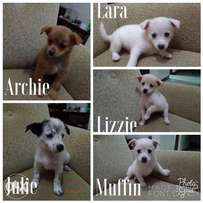 Japanese Spitz pups for sale.