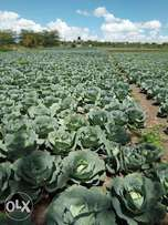 Cabbages, Cauliflower, Dhania available in Kitengela