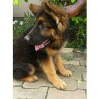 German Shepard puppies available for sale