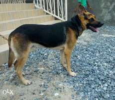 male adult gsd for sale