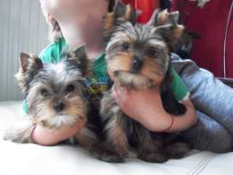 Beautiful Two Pedigree Yorkshire Terrier Girl Mini