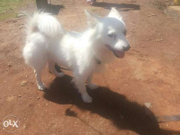 cute white german puppy Ongata Rongai - image 2