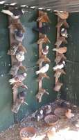 Tumblers pigeons for sale