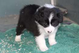 Outstanding Border Collies Puppies Available.