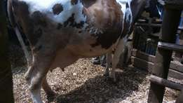 Ayrshire dairy cow's for sale.