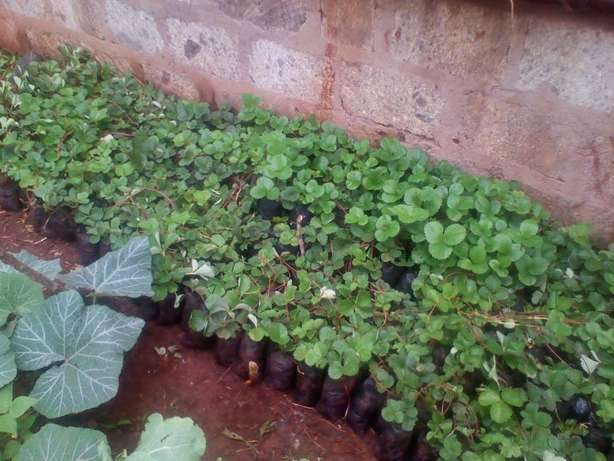 Strawberry Seedlings FOR SALE Embu Town - image 5