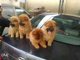 chow chow puppies are available for sales