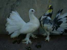 India exotic pidgin for sale
