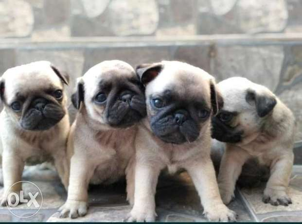 Pug puppies imported from Ukraine