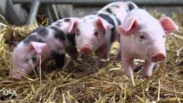 Piglets: New Born or any age