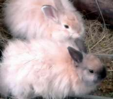 2 Jersey Wooly Bunny Rabbit Kit Brothers For Sale