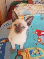 Pure bred Blue Point Siamese kitten