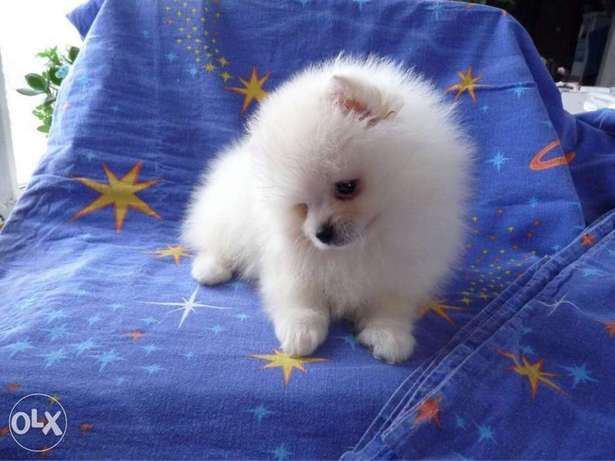 White & cream Poms puppy's for sale رابغ -  6