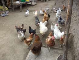Chickens Kienyeji-Xmas Offer