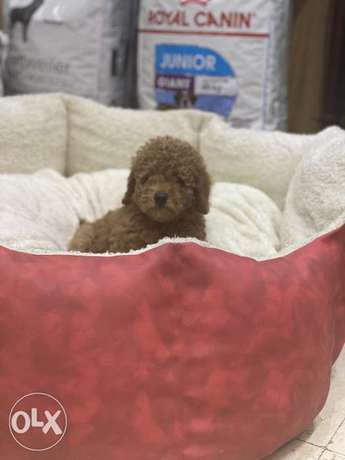 Imported Toy Poodle Puppies Europe Top Quality