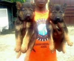 Imported aggressive south african German Shepherd puppies for sale.